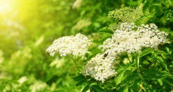 Socul, eficient in alergii, reumatism, infectii