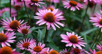 Echinacea stimuleaza sistemul imunitar si previne infectiile virale
