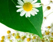 In ce conditii sunt plantele medicinale contraindicate?