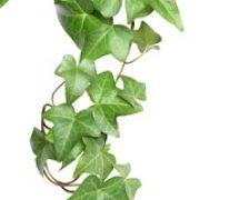 Ce plante ornamentale reprezinta un pericol pentru copii?