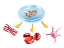 Premiera! Au fost clonate celule stem de la adulti