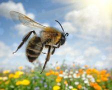 Bacteriile lactice provenite de la albine ar putea reprezenta o alternativa la antibiotice