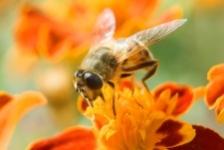 A fost descoperit serul impotriva veninului de albine