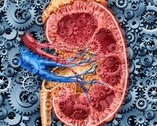 Cercetatorii sunt la un pas de a crea rinichiul artificial