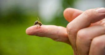 Veninul albinelor ucide celulele cancerului mamar